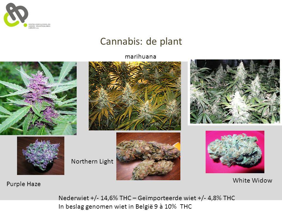 Cannabis: de plant marihuana Northern Light White Widow Purple Haze