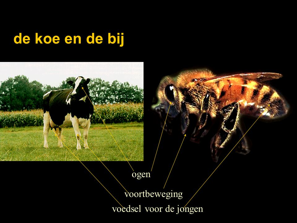 de koe en de bij ogen voedsel voor de jongen voortbeweging