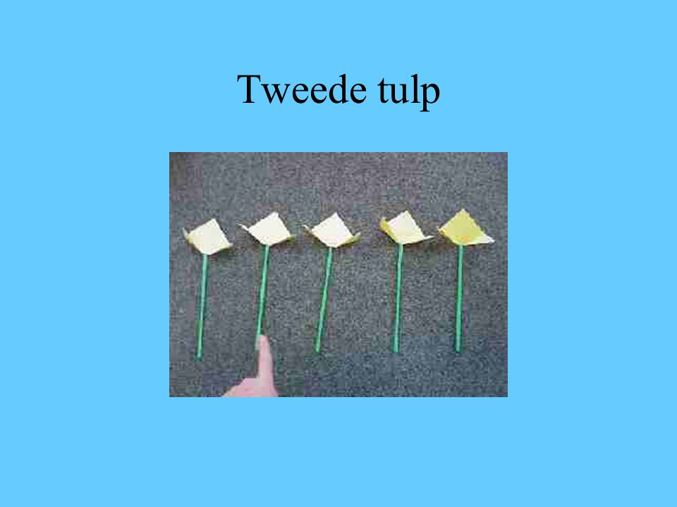 Tweede tulp