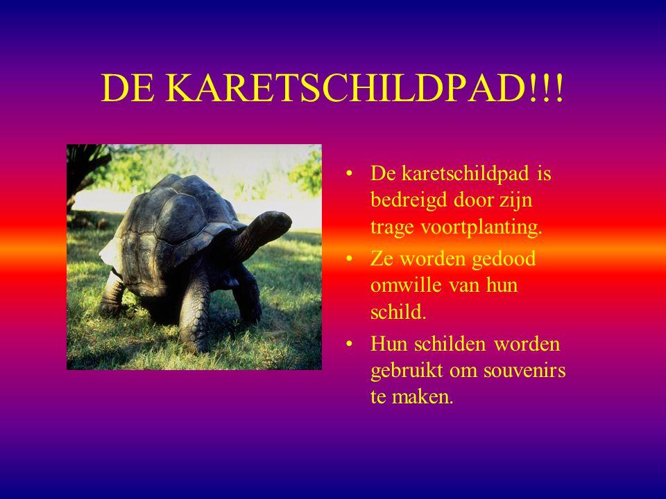 DE KARETSCHILDPAD!!! De karetschildpad is bedreigd door zijn trage voortplanting. Ze worden gedood omwille van hun schild.