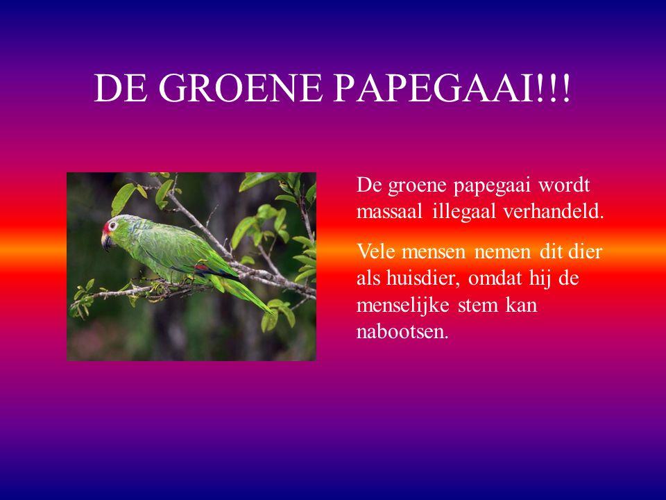 DE GROENE PAPEGAAI!!! De groene papegaai wordt massaal illegaal verhandeld.