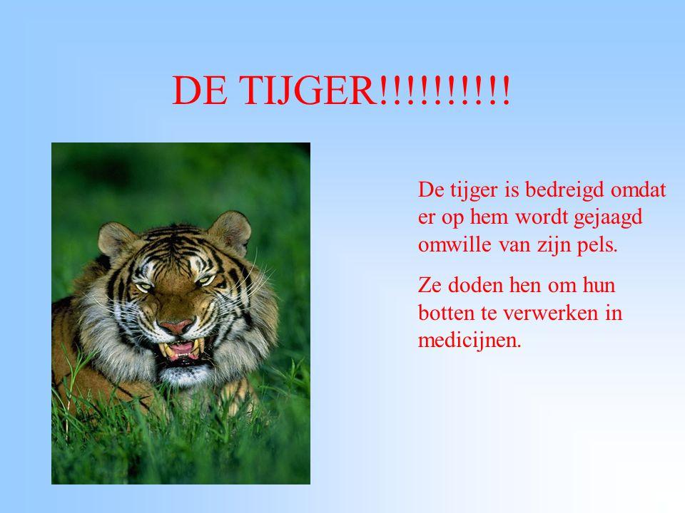 DE TIJGER!!!!!!!!!! De tijger is bedreigd omdat er op hem wordt gejaagd omwille van zijn pels.