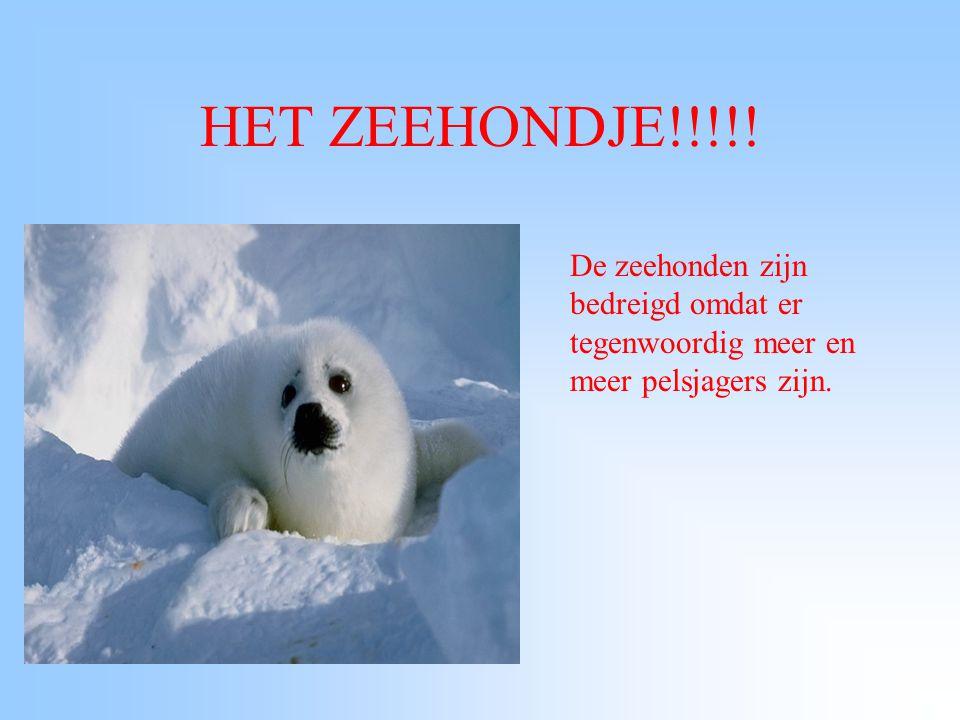 HET ZEEHONDJE!!!!! De zeehonden zijn bedreigd omdat er tegenwoordig meer en meer pelsjagers zijn.