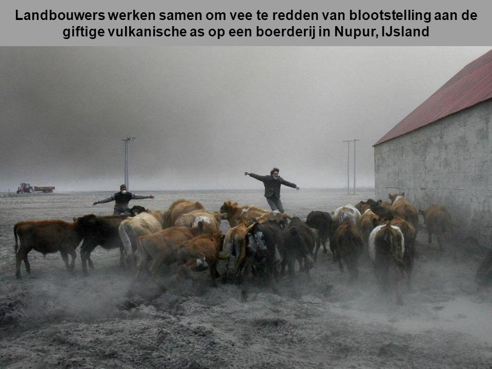 Landbouwers werken samen om vee te redden van blootstelling aan de giftige vulkanische as op een boerderij in Nupur, IJsland