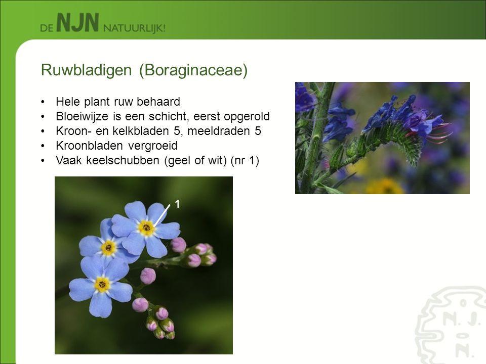Ruwbladigen (Boraginaceae)