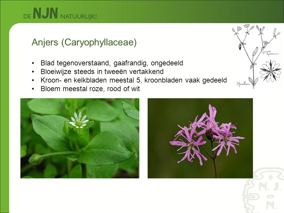 Anjers (Caryophyllaceae)