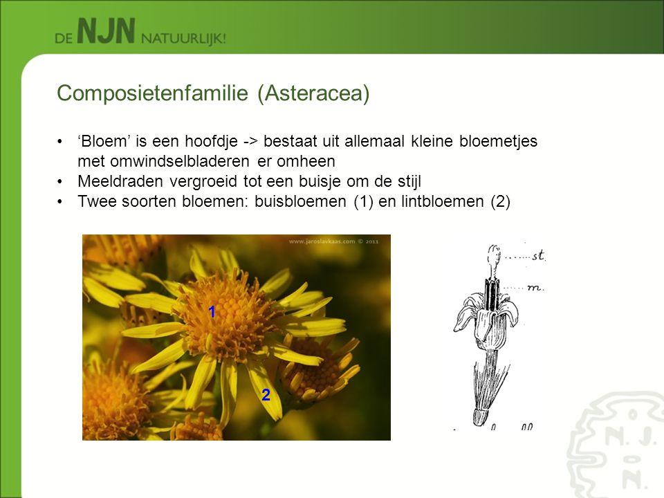 Composietenfamilie (Asteracea)