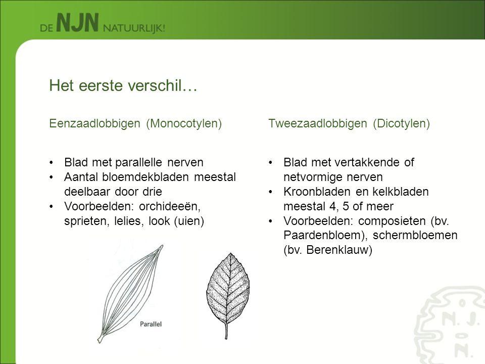 Het eerste verschil… Eenzaadlobbigen (Monocotylen)