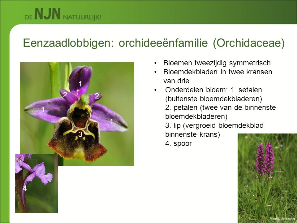 Eenzaadlobbigen: orchideeënfamilie (Orchidaceae)