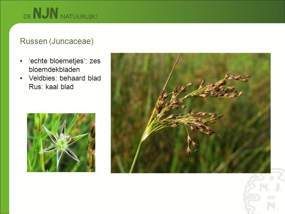 Russen (Juncaceae) 'echte bloemetjes': zes bloemdekbladen