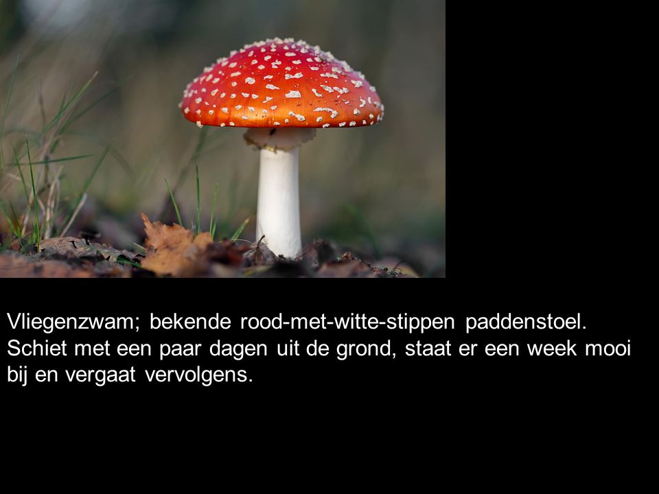 Vliegenzwam; bekende rood-met-witte-stippen paddenstoel