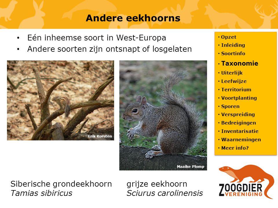 Andere eekhoorns Eén inheemse soort in West-Europa