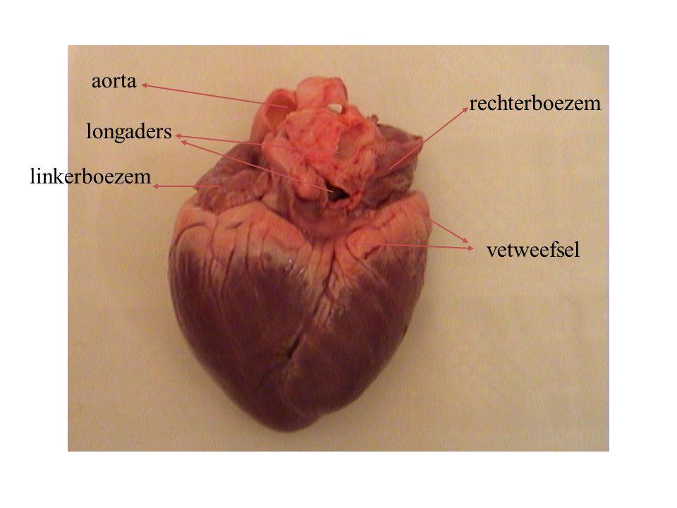 aorta rechterboezem longaders linkerboezem vetweefsel