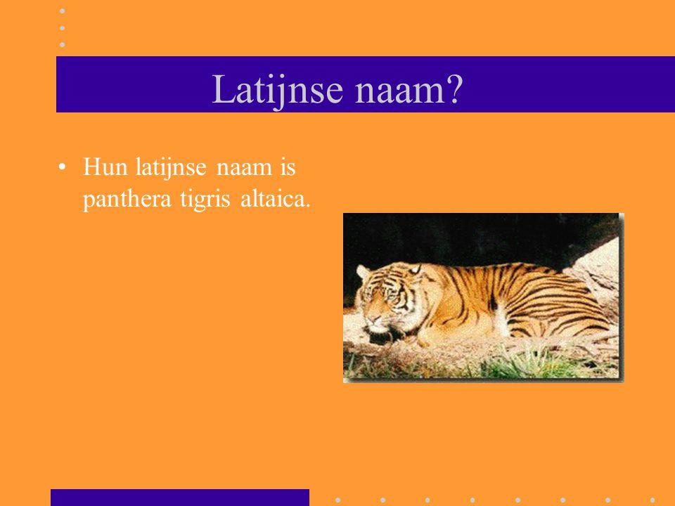 Latijnse naam Hun latijnse naam is panthera tigris altaica.