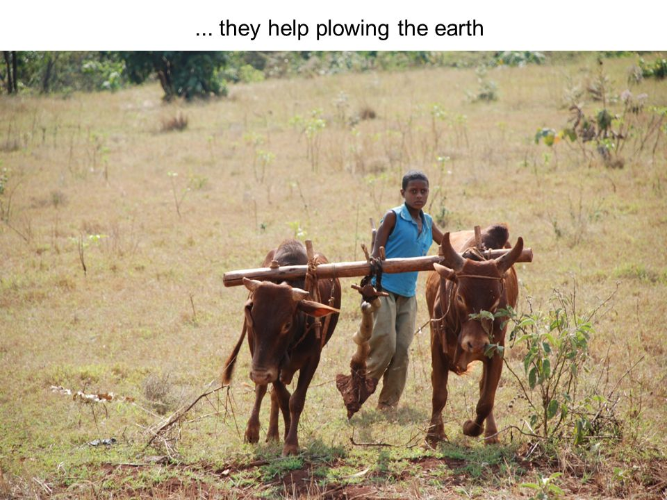 ... they help plowing the earth