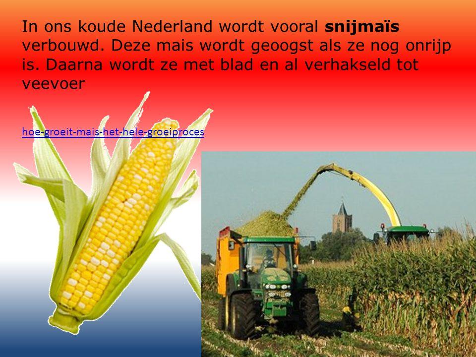 In ons koude Nederland wordt vooral snijmaïs verbouwd