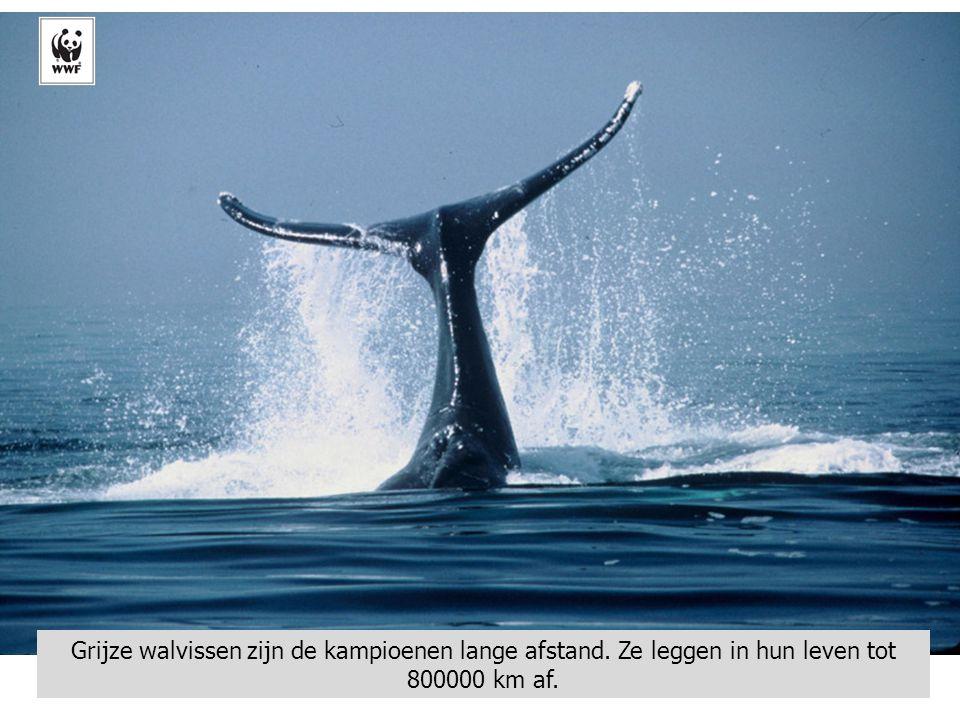 Grijze walvissen zijn de kampioenen lange afstand