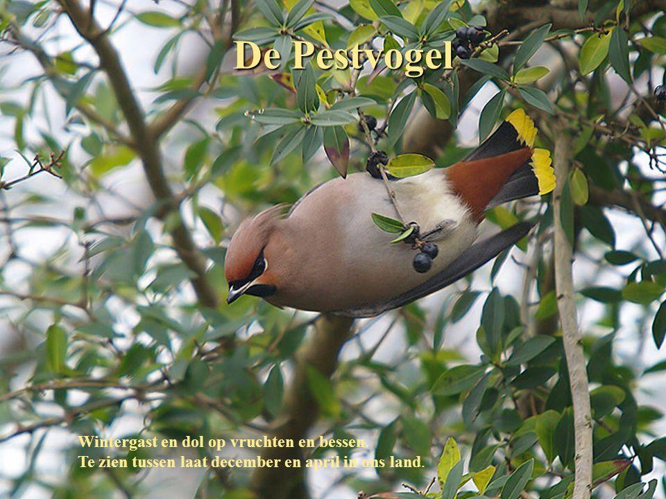 De Pestvogel Wintergast en dol op vruchten en bessen.