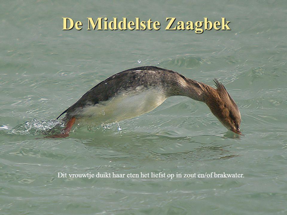 De Middelste Zaagbek Dit vrouwtje duikt haar eten het liefst op in zout en/of brakwater.