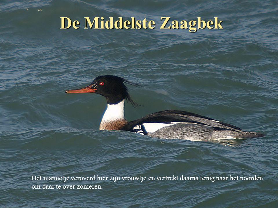 De Middelste Zaagbek Het mannetje veroverd hier zijn vrouwtje en vertrekt daarna terug naar het noorden.