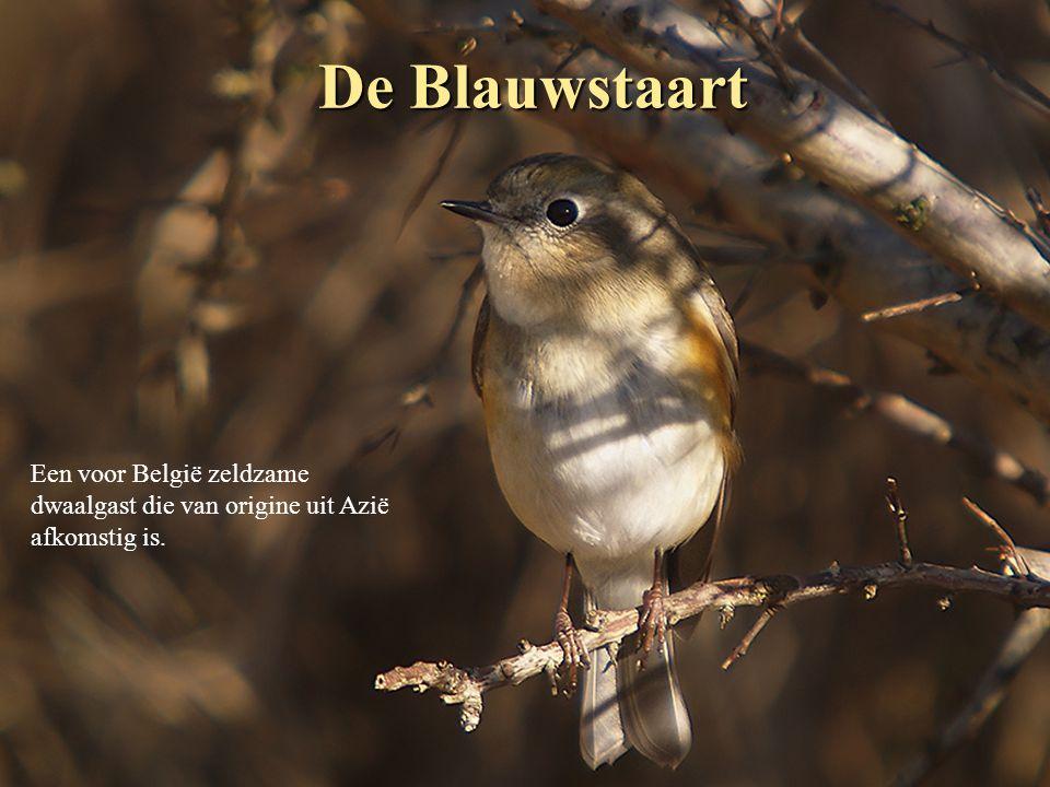 De Blauwstaart Een voor België zeldzame