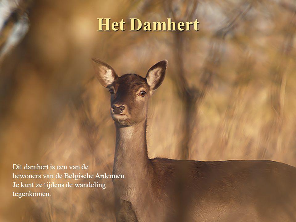 Het Damhert Dit damhert is een van de