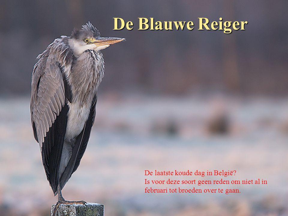 De Blauwe Reiger De laatste koude dag in België