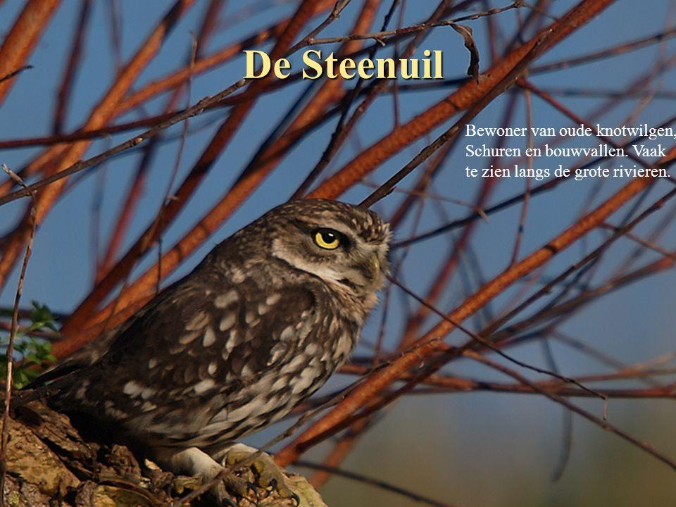 De Steenuil Bewoner van oude knotwilgen, Schuren en bouwvallen. Vaak
