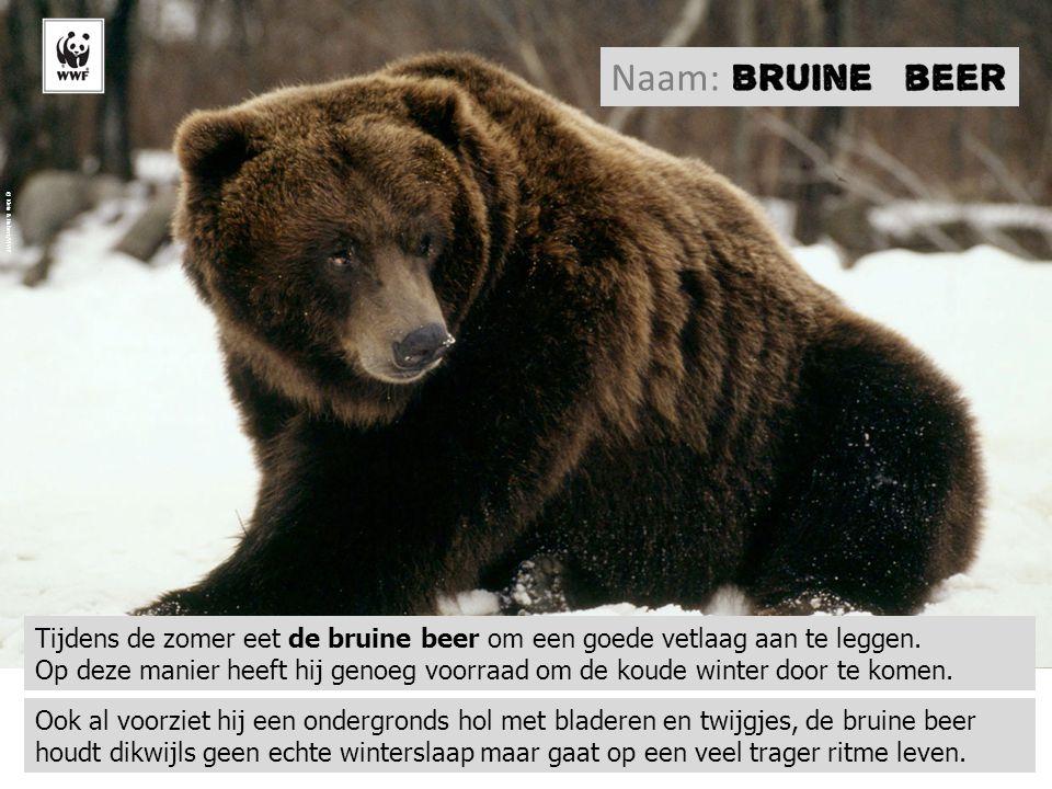 Naam: © Klein & Hubert/WWF. Tijdens de zomer eet de bruine beer om een goede vetlaag aan te leggen.
