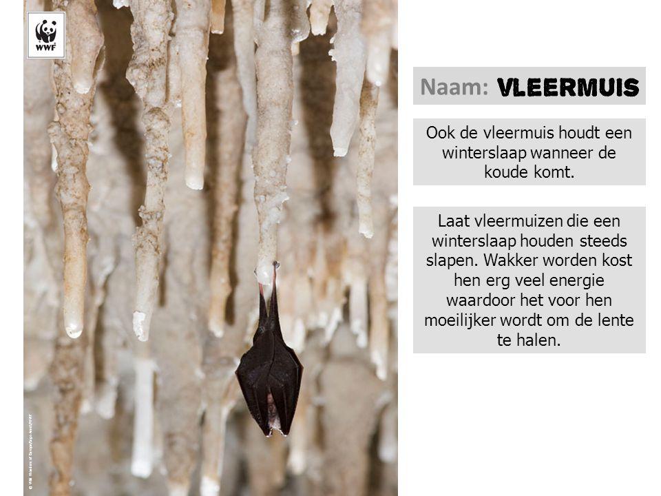 Ook de vleermuis houdt een winterslaap wanneer de koude komt.