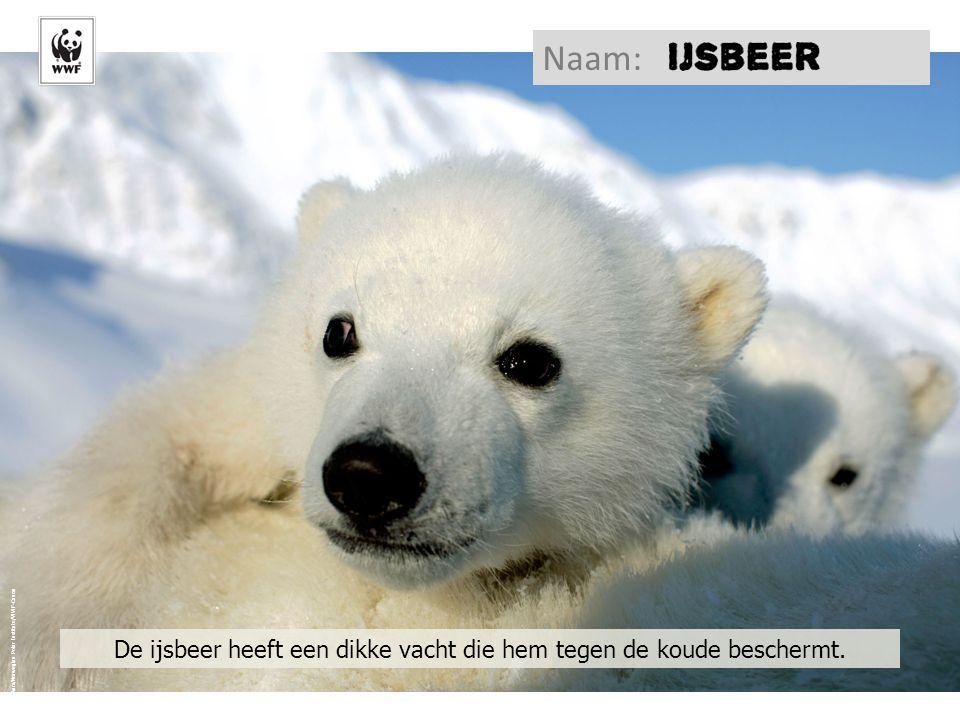 De ijsbeer heeft een dikke vacht die hem tegen de koude beschermt.