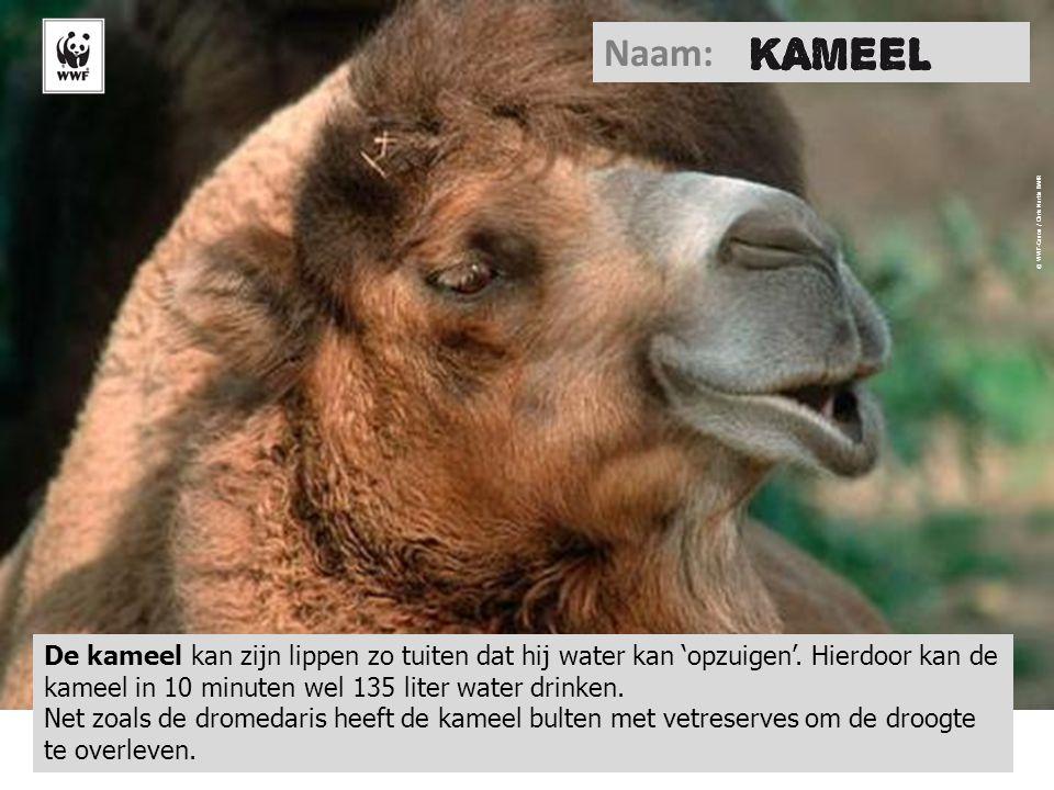 Naam: Chameau. © WWF-Canon / Chris Martin BAHR.