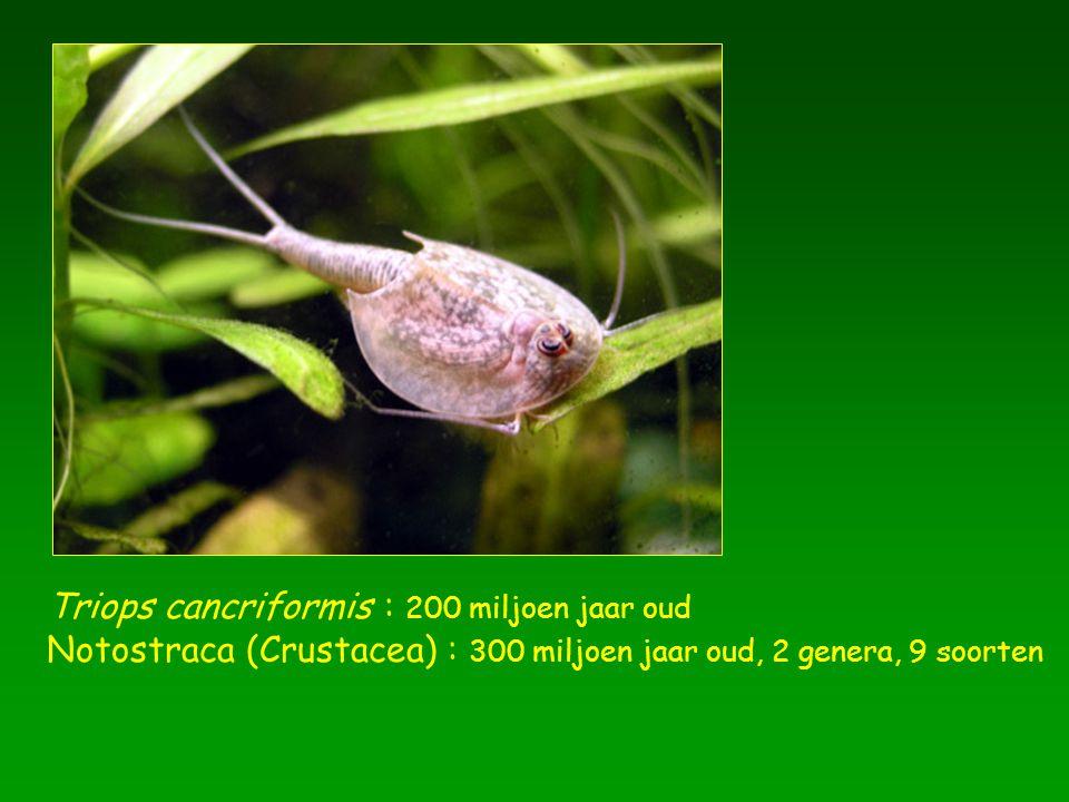 Triops cancriformis : 200 miljoen jaar oud