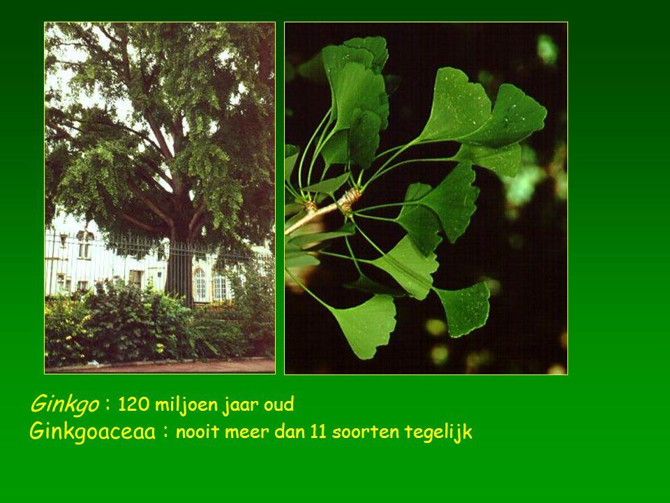 Ginkgo : 120 miljoen jaar oud