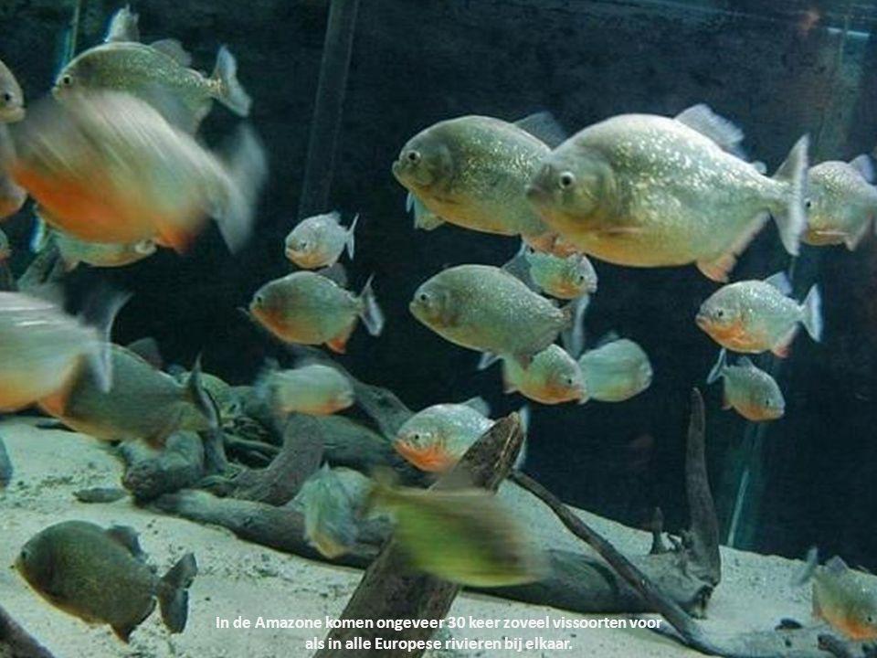 In de Amazone komen ongeveer 30 keer zoveel vissoorten voor