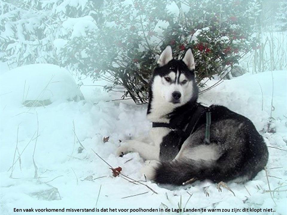 Een vaak voorkomend misverstand is dat het voor poolhonden in de Lage Landen te warm zou zijn: dit klopt niet..