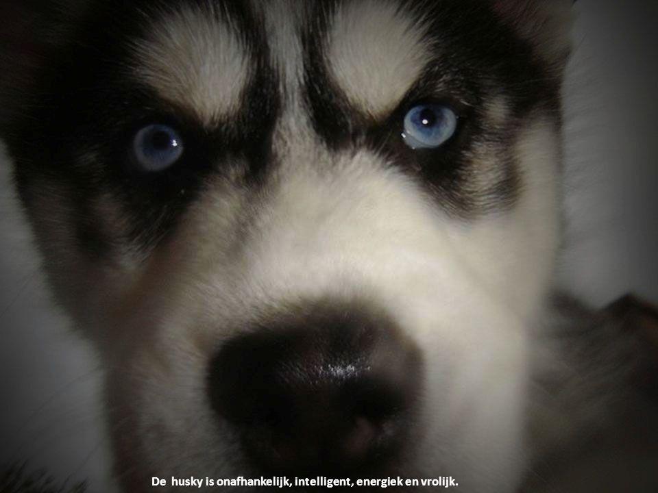 De husky is onafhankelijk, intelligent, energiek en vrolijk.