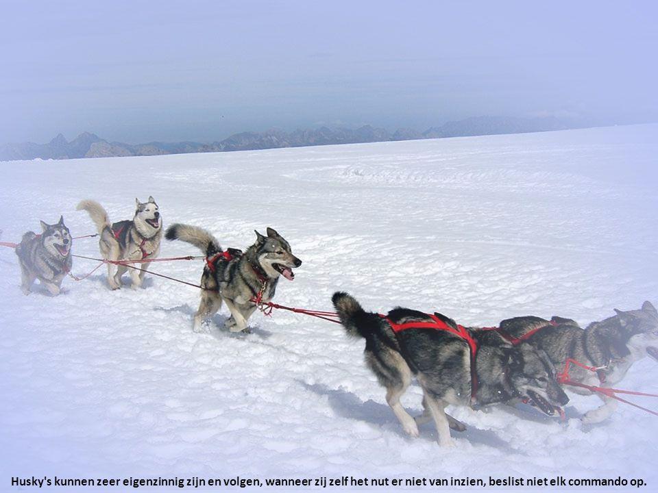 Husky s kunnen zeer eigenzinnig zijn en volgen, wanneer zij zelf het nut er niet van inzien, beslist niet elk commando op.