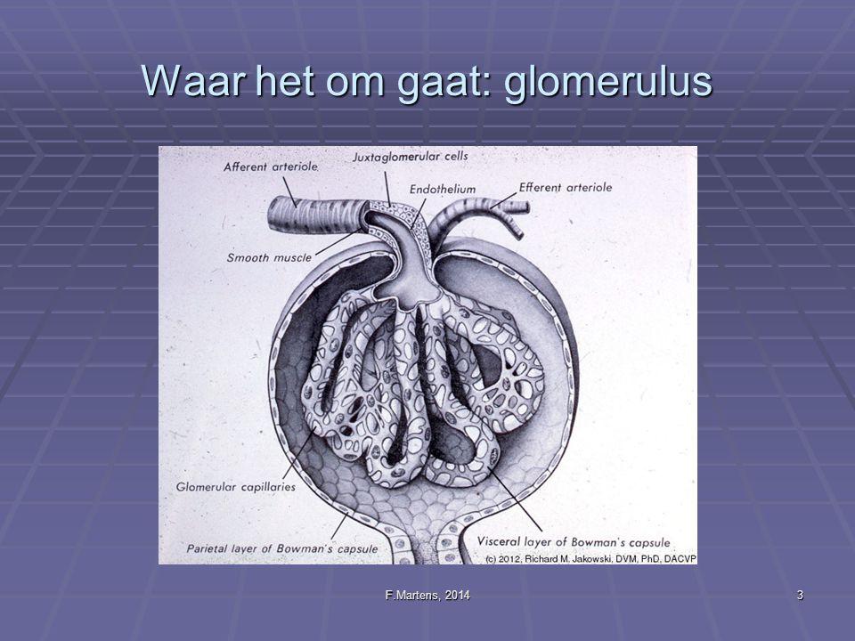 Waar het om gaat: glomerulus