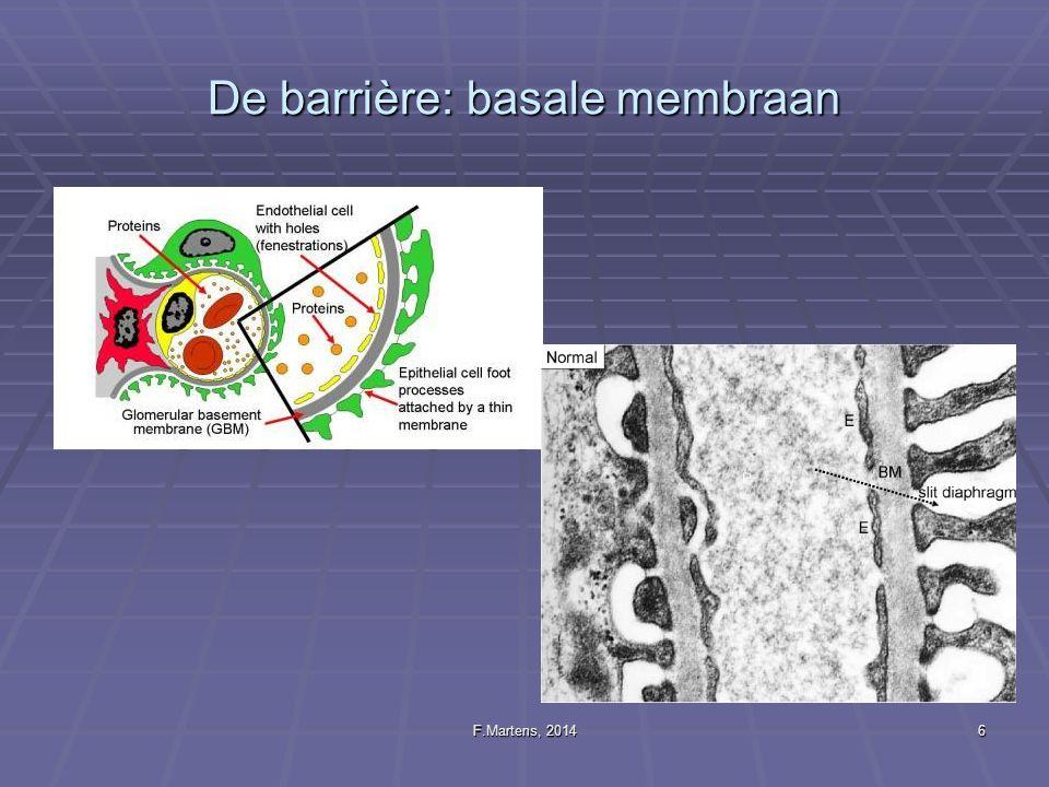 De barrière: basale membraan