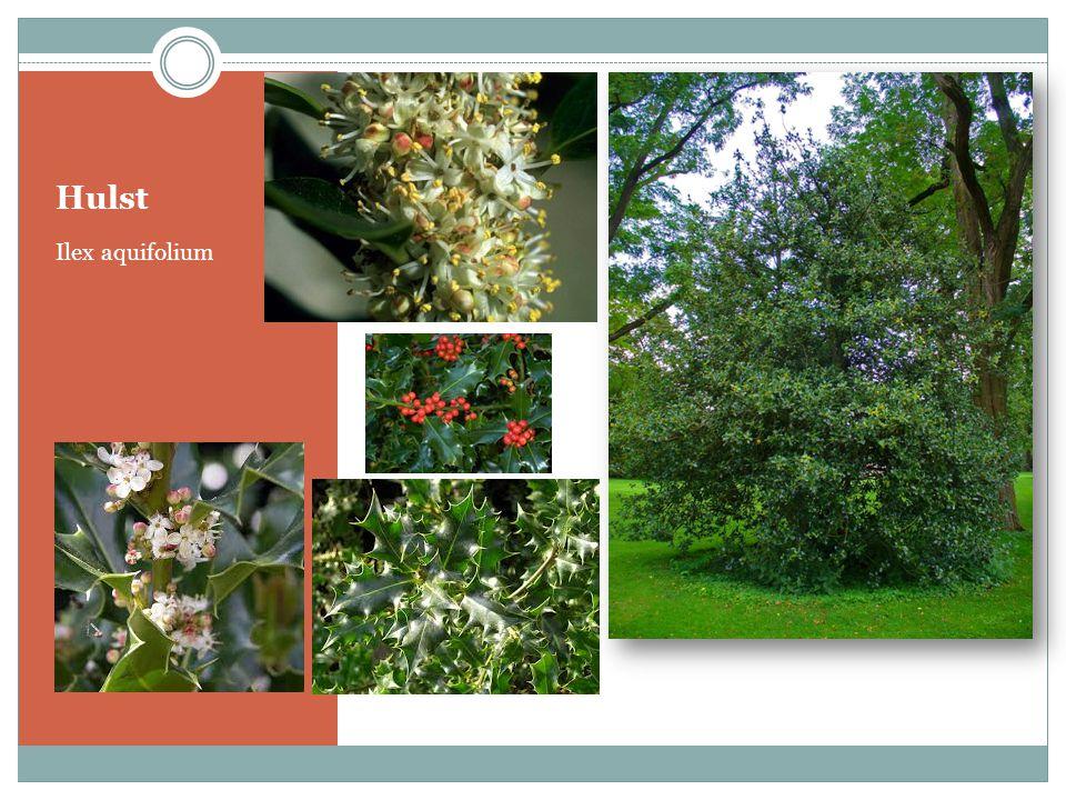 Hulst Ilex aquifolium