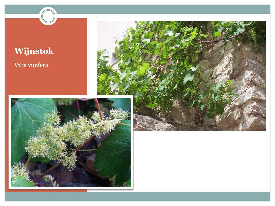Wijnstok Vitis vinifera