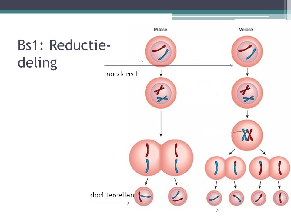 Bs1: Reductie- deling moedercel dochtercellen