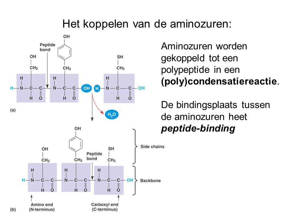 Het koppelen van de aminozuren:
