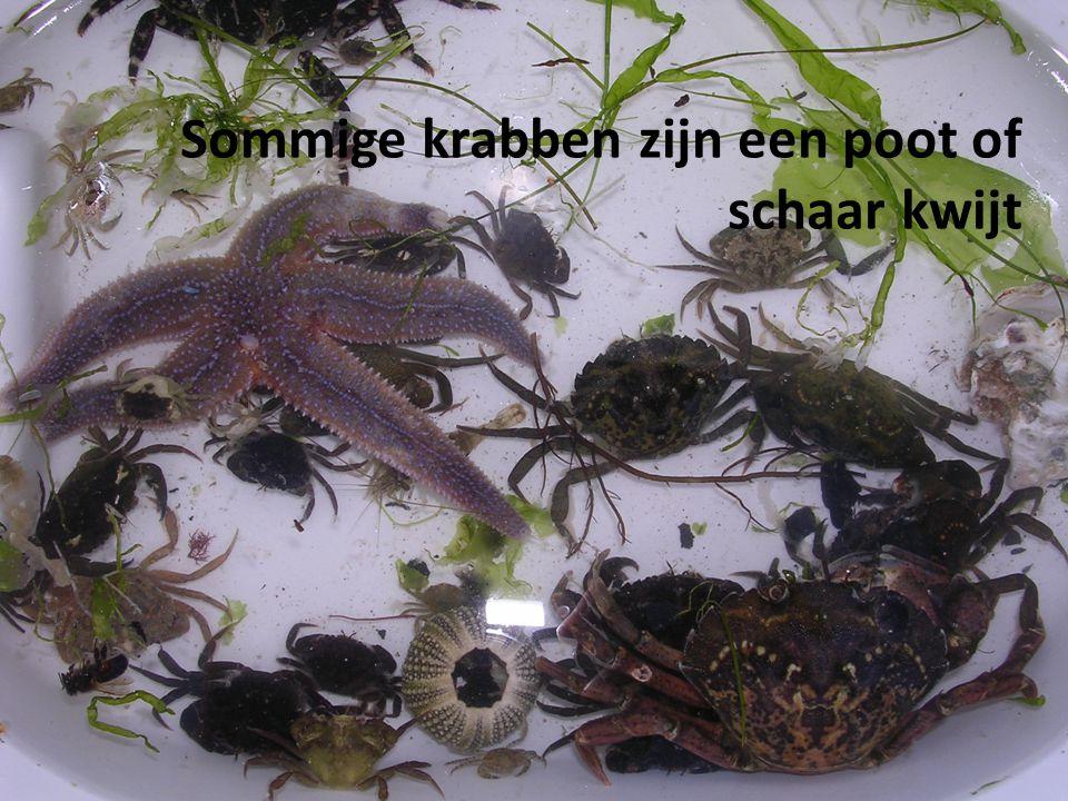 Sommige krabben zijn een poot of schaar kwijt