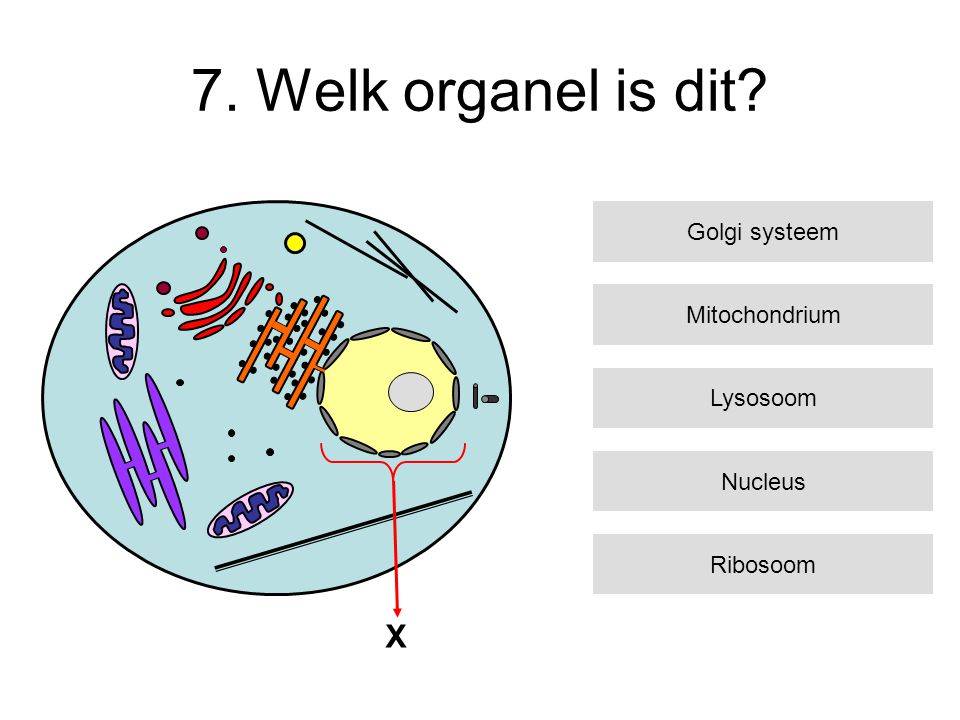 7. Welk organel is dit X Golgi systeem Mitochondrium Lysosoom Nucleus
