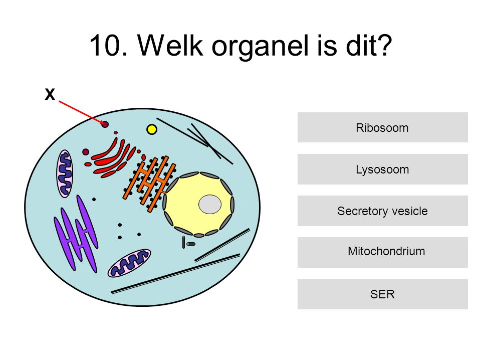 10. Welk organel is dit X Ribosoom Lysosoom Secretory vesicle