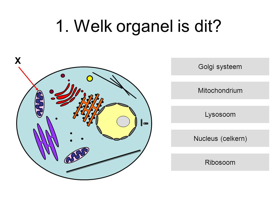 1. Welk organel is dit X Golgi systeem Mitochondrium Lysosoom