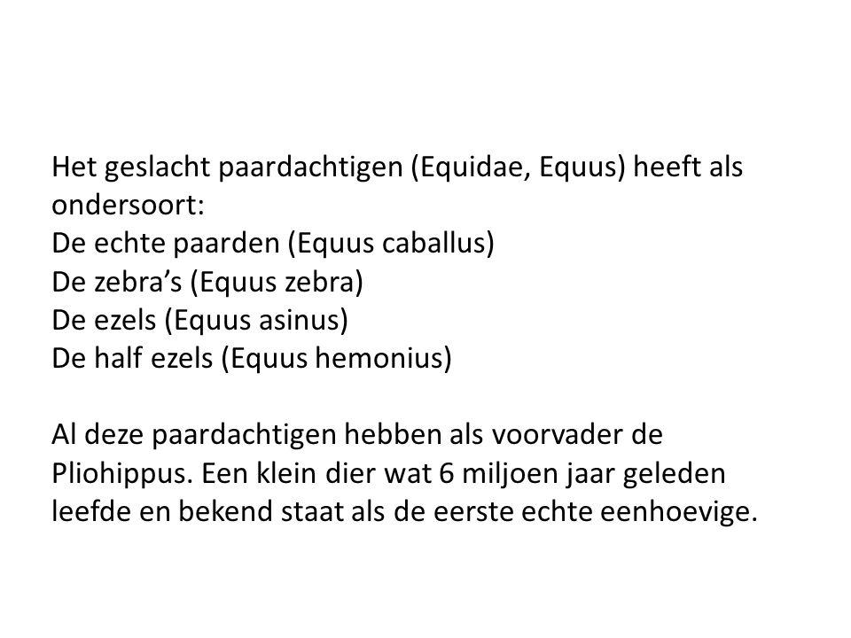 Het geslacht paardachtigen (Equidae, Equus) heeft als
