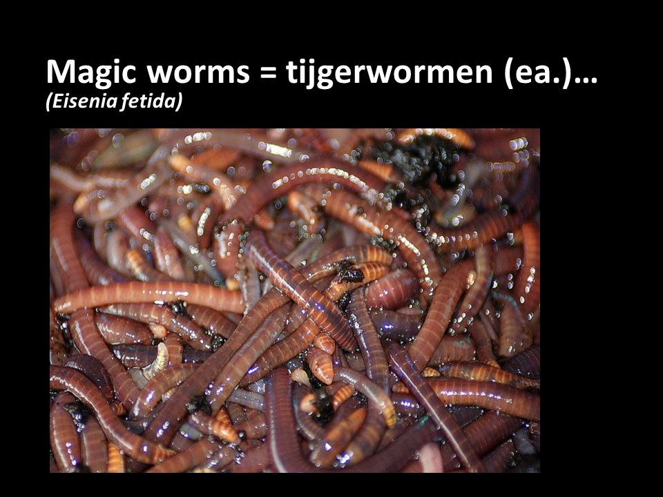 Magic worms = tijgerwormen (ea.)…